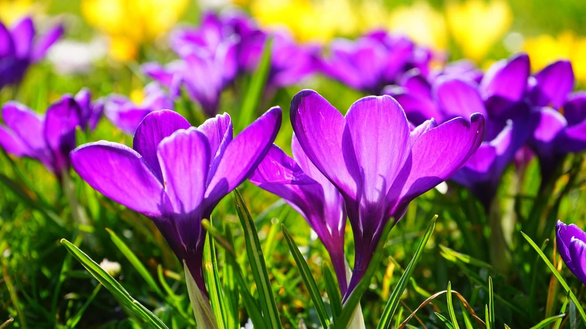 Choisissez des crocus pour vos massifs de fleurs !