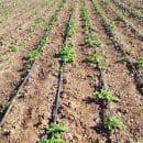 irrigation goutte à goutte