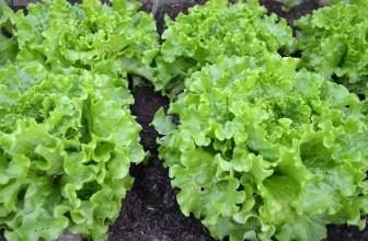 Des salades bio : voici nos conseils
