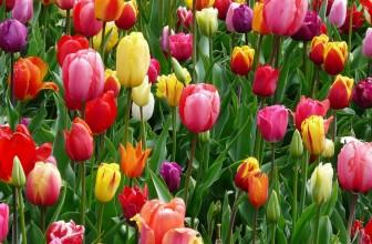 Quelles solutions bio pour mes tulipes ?
